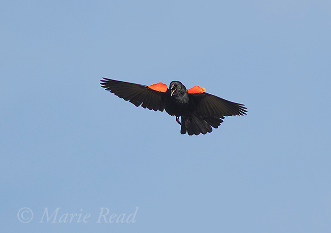 Red-winged Blackbird (Agelaius phoeniceus) , displaying and calling in flight, scarlet epaulettes raised, Ithaca, New York, USA