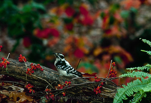 Female Downy woodpecker with blittersweet berries and ferns - mix of fall and late summer colors