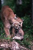 An adult female mountain lion carries her cub in her mouth.