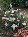 Pink Gruss an Aachen Rose bush, Rosa hybrid