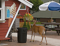 White-tailed Deer; Odocoileus virginianus; eating nasturtiums in planter; NY, Adirondack Park; Old Forge