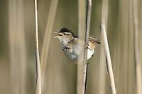 Marsh Wren (Cistothorus palustris) calling from the reeds, Marshlands Conservancy, Rye, New York