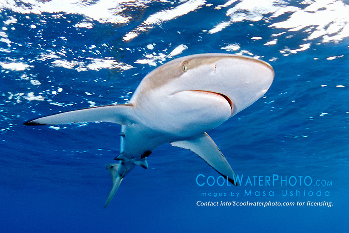 silky shark, .Carcharhinus falciformis, .Hawaii (Pacific).
