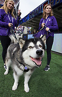 Dubs I roams the sidelines during the start of his final season in Husky Stadium.
