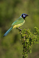 551110063 a wild green jay cyanocorax yncas perches in a plant on dos venadas ranch starr county texas united states