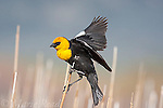 Yellow-headed Blackbird (Xanthocephalus xanthocephalus) male landing in cattail marsh, Mono Lake Basin, California, USA