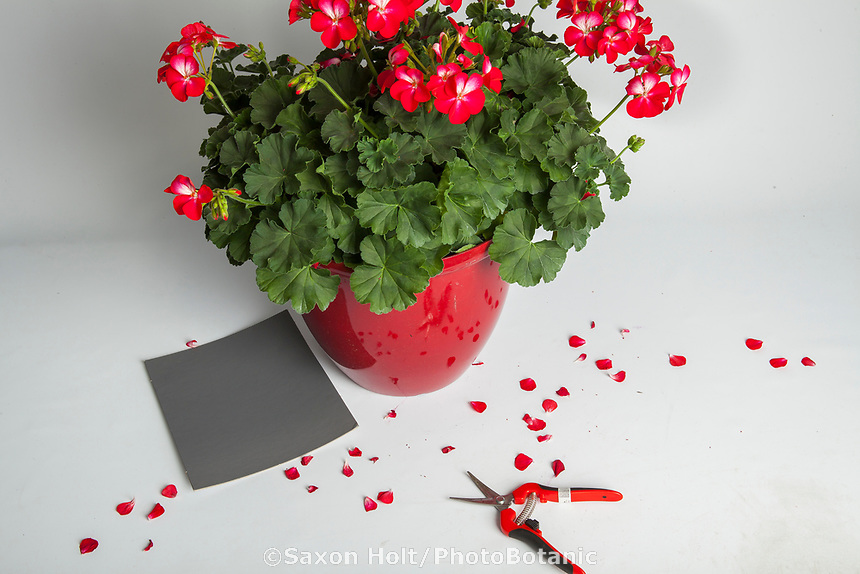 How to photograph flowers, Studio preparation to photograph geranium, Tango Bicolor Cherry, Pelargonium zonale - Syngenta Flowers