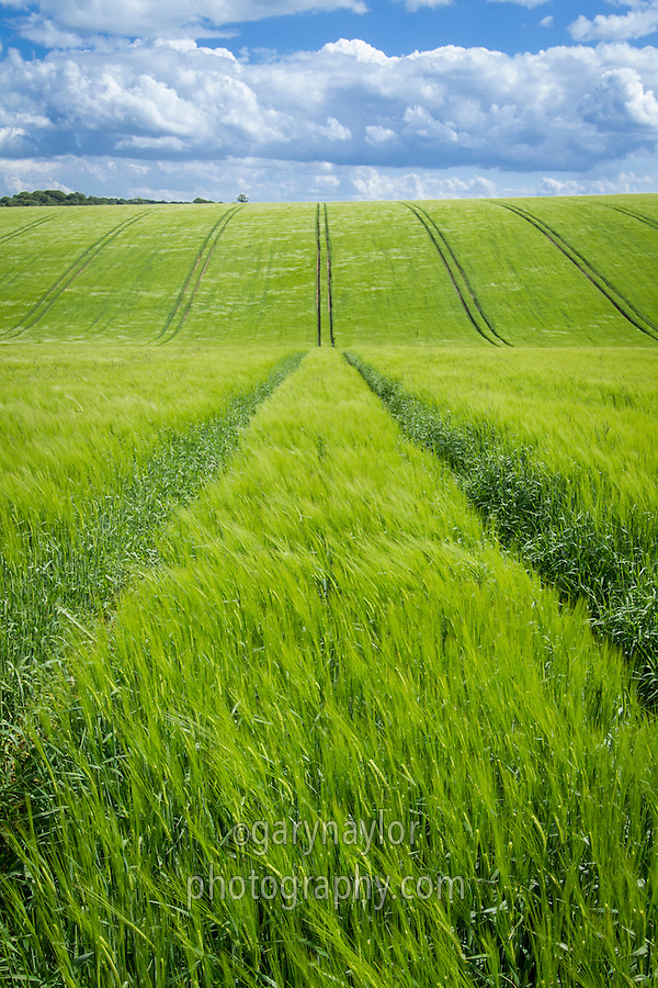 Winter barley in ear - June, Lincolnhire Wolds