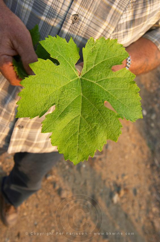 Vine leaf. Syrah. Caramany, Ariege, Roussillon, France