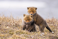 Red fox kits play on the tundra after after taking some of their first steps outside of the den during a vibrant spring day on Alaska's north slope.