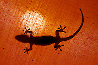 Gecko, Christmas Island, Indian Ocean
