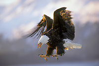 Bald Eagle (Haliaeetus leucocephalus) about to land.  Alaska.  March.