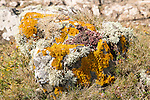 Orange golden shield, Xanthoria parietina, and other lichen types growing on rock near Kynance Cove, Cornwall, England, UK
