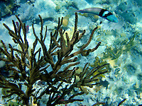 Gorgonia Coral and Blue Wrass fish. St. John. Virgin Islands Virgin IslandsVirgin Islands Coral Reef National Monument.