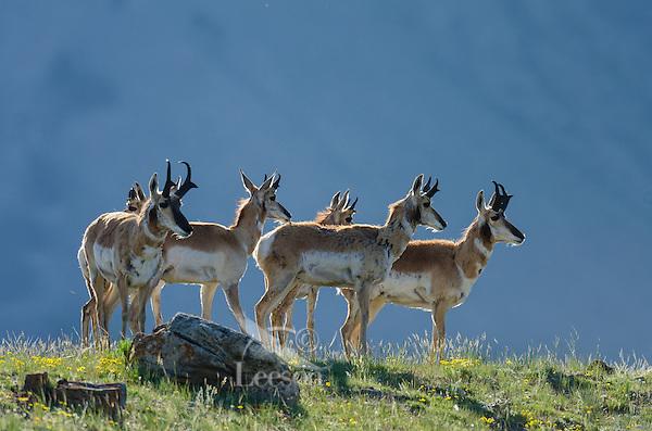 Pronghorn Antelope (Antiloapra americana)--mostly bucks.  Western U.S., June.