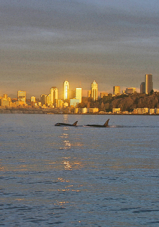 Seattle, skyline, Orca whales, killer whales, waterfront, Elliott Bay, Puget Sound, endangered species, Orcinus orca,