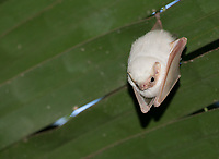 A rare find on the Pacific side of Costa Rica, but I typically see one or two of these ghost bats in Carara National Park.