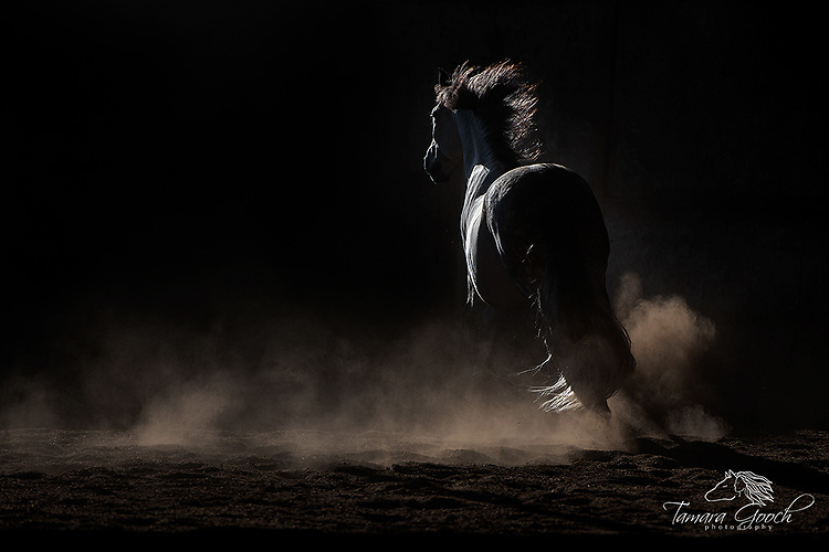 A photo of a grey andalusian horse at liberty in an indoor arena, low light and dust.