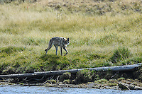 A female wolf of the Mollie Pack canvasses the edge of the Yellowstone River in Hayden Valley, Yellowstone National Park, Wyoming.