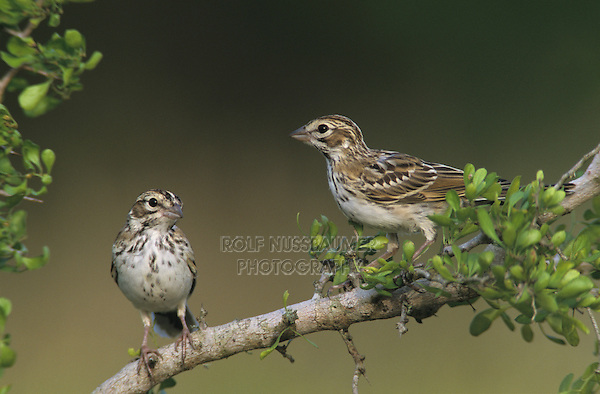 Lark Sparrow, Chondestes grammacus, young on Desert Hackberry (Celtis pallida) , Willacy County, Rio Grande Valley, Texas, USA, June 2004