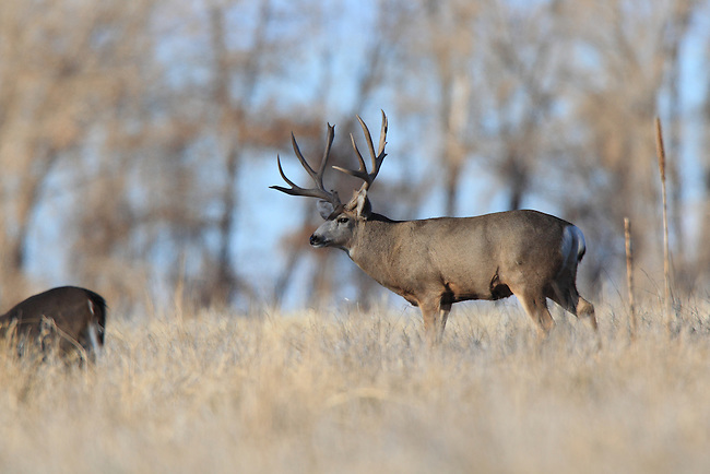 Mule deer, outdoor, muley, wildlife, outdoors, nature photography, big buck, big game, big mule deer, big game animal, buck, deer, huge mule deer buck, monster buck, monster muley, deer rut, nature, north america, north american big game, north american wildlife, wildlife photograph, mule deer, rocky mountain wildlife, rutting buck, trophy buck, trophy mule deer buck, Harlan B. Cooper.