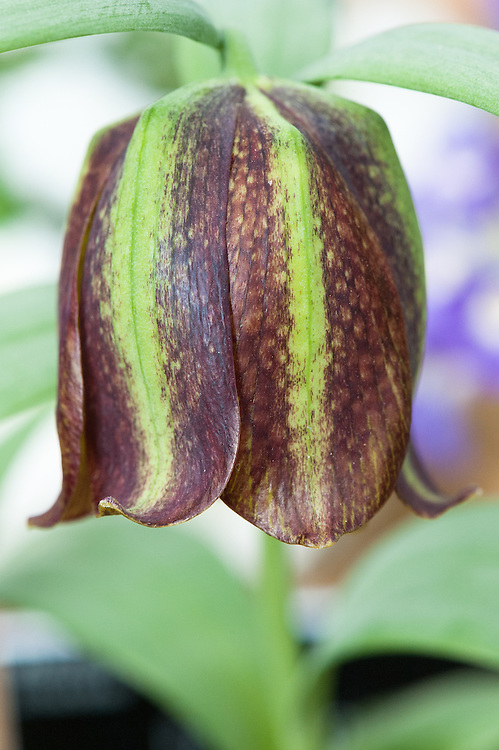Fritillaria kotschyana, glasshouse, late March. A large-flowered Asian fritillary from the mountains of northern Iran.