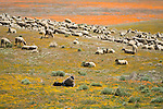 A herd of sheep graze the poppy and wildflower covered hills in Antelope Valley, Calif...A shepherd from Peru watches his flock.