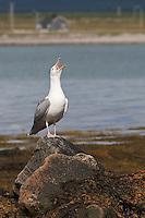 Silbermöwe, rufend, schreiend, Silber-Möwe, Möwe, Silbermöve, Larus argentatus, herring gull