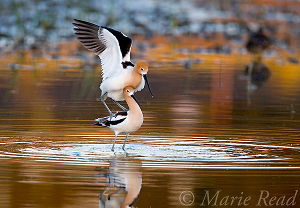 American Avocets (Recurvirostra americana), pair mating, Orange County, California, USA. The male avocet opens his wings to balance himself on the female's back.<br /> #3 of 5-image sequence
