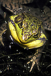 Green frog, Rana clamitans, in breeding colors