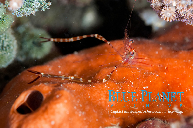 Spotted-arm Cuapetes Shrimp, Cuapetes lacertae, night dive, Cardinal Point dive site, Lembata Island, East Flores, Indonesia, Pacific Ocean