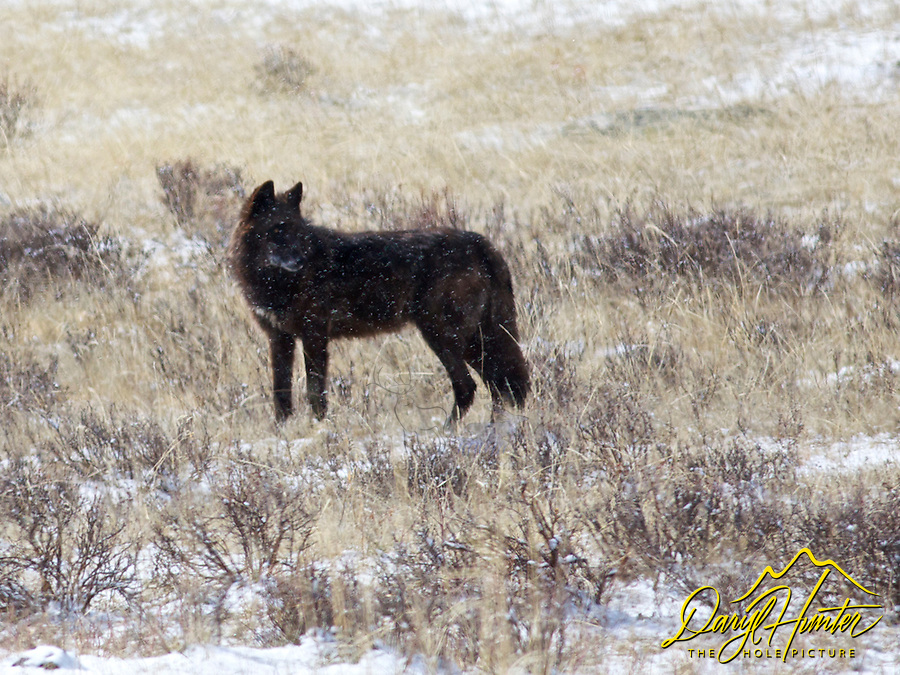 Black Yellowstone Wolf, Lamar Valley, Yellowstone National Park