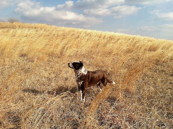 Daisy in a golden field
