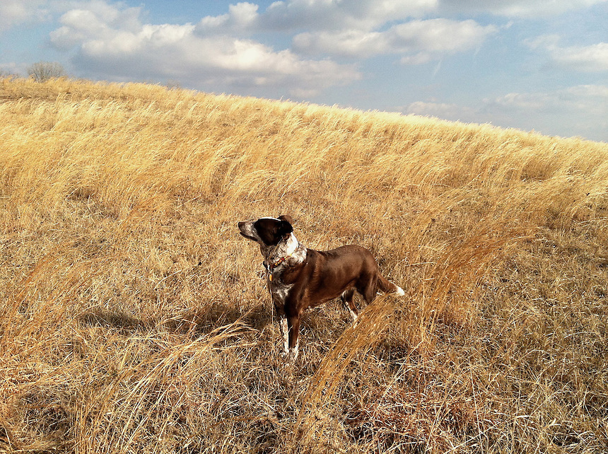 Daisy in a golden field