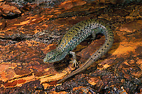 NORTHERN ALLIGATOR LIZARD..British Columbia, Canada..(Gerrhonotus coeruleus principis).