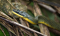 The neotropical bird-eating snake is a large, non-venomous serpent.