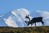 Bull caribou on a tundra ridge silhouetted against Mt. Denali, Denali National Park, Alaska.