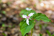 Painted Trillium -Trillium undulatum - in the White Mountains, New Hampshire during the spring months. This plant is part of the Lily family and has an inverted, pink V at the base of each white petal. Painted Trillium is also known as the painted lady.