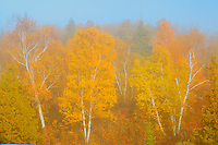 Hardwood trees in autumn color and fog<br /> WHiteshell Provincial Park<br /> Manitoba<br /> Canada