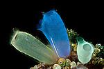 Blue club tunicates, ascidians or sea squirts (Rhopalaea crassa)