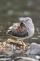 Surfbird perches on a rock and grooms its feathers, Prince William Sound, Alaska.