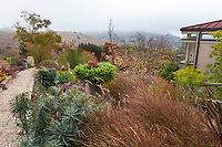 California summer-dry garden with Panicum virgatum, switch grass;