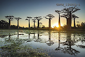 Tom Mackie, LANDSCAPES, LANDSCHAFTEN, PAISAJES, photos,+Africa, Madagascar, Tom Mackie, UNESCO World Heritage Site, Worldwide, african, atmosphere, atmospheric, baobab tree, big, bl+ue, environment, exotic, flora, forest, gigantic, green, group, high, horizontal, horizontals, huge, landscape, large, light,+massive, mood, moody, morondava, nature, old, outdoor, plant, reflection, reflections, road, scenery, scenic, silhouette, sk+y, sun, sun burst, sunrise, sunset, tall, time of day, tourism, tranquil, travel, tree, tre,Africa, Madagascar, Tom Mackie, U+,GBTM150203-1,#L#