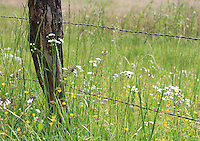 Stock photo of fleabane daisy flowers and wild grass near a barbed wire fence in cades cove in the great smoky mountains national park of America.