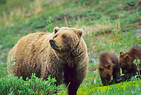 Sow grizzly bear and spring cubs on the green summer tundra in Denali National Park, Alaska