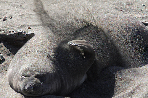 AN ELEPHANT SEAL SPREADS SAND ON TOP OF ITS BODY TO COOL ALONG THE CALIFORNIA COAST AT ANO NUEVO STATE NATURAL RESERVE