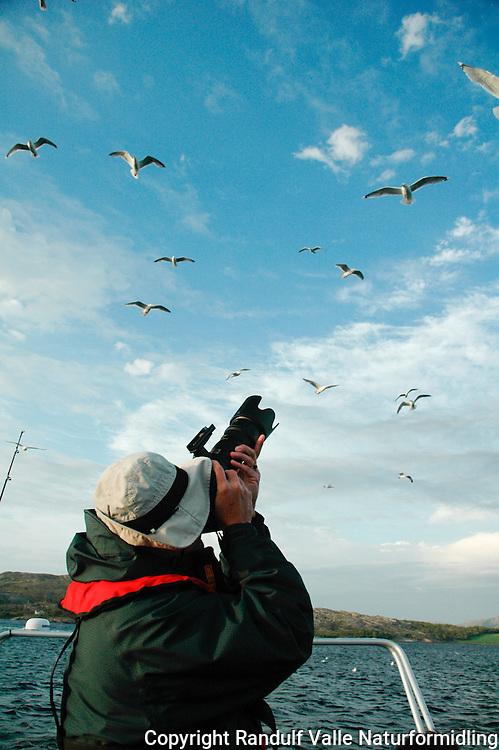 Fotograf og gråmåker ---- Photographer and herring gulls