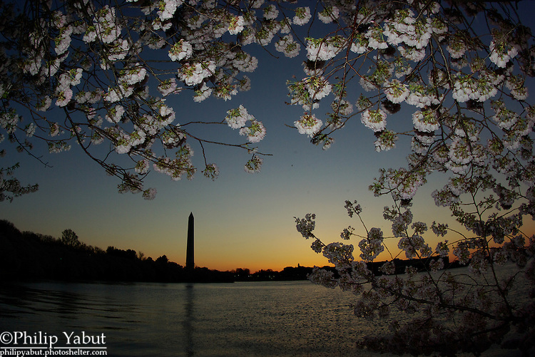 Early morning twilight during the National Cherry Blossom Festival is a good time to take some pictures.