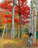 Forest of birch and maples above Wyman Lake in Maine