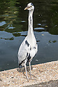 A grey heron poses for her/his picture, on a sunny day, by the lake in Regent's Park.